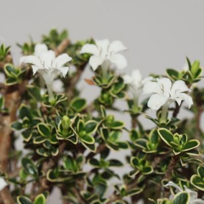 Kryty bonsai - Serissa foetida Variegata - Drzewo Tysiąca Gwiazd - 4