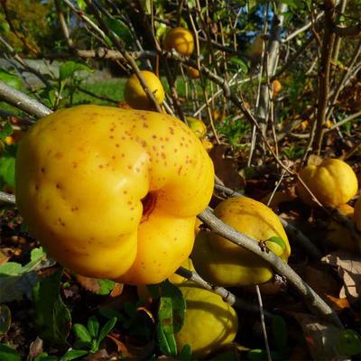 Outdoor bonsai - Chaneomeles japonica - japońska pigwa - 4