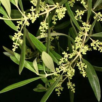 Kryte bonsai - Olea europaea sylvestris -Oliva european tiny - 4