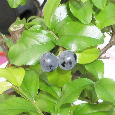 Kryty bonsai - Sagerécie thea - Sagerécie thea - 4