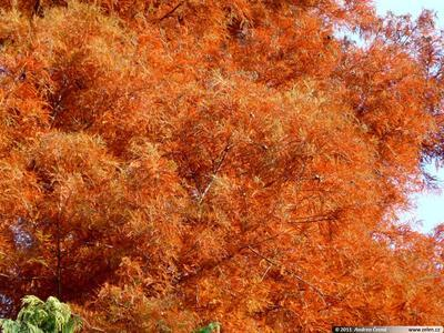 Outdoor bonsai - Dwuliniowy leszcz - 4