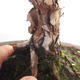 Outdoor bonsai- ziele dziurawca - Hypericum - 5/6