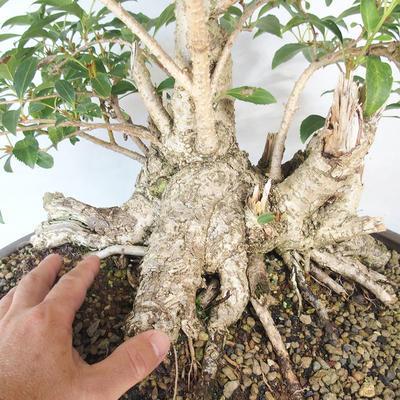 Outdoor bonsai - Forsycja - Forsycja - 5