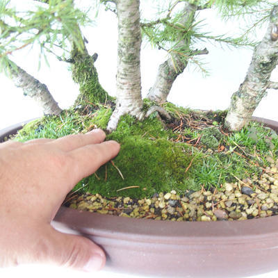 Outdoor bonsai -Larix decidua - modrzew - 5