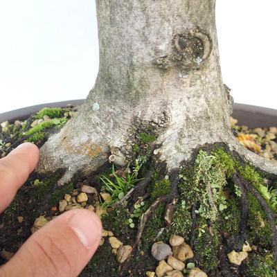 Outdoor bonsai - grab - Carpinus betulus - 5