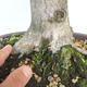Outdoor bonsai - grab - Carpinus betulus - 5/5