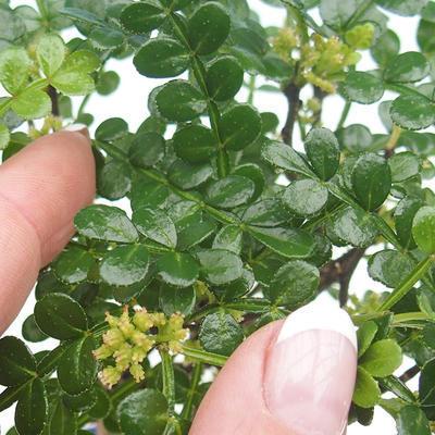 Kryty bonsai - Zantoxylum piperitum - ziarno pieprzu - 5