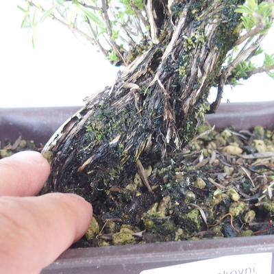 Outdoor bonsai - góra Satureja - Satureja montana - 5