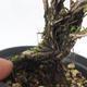 Outdoor bonsai - góra Satureja - Satureja montana - 5/6