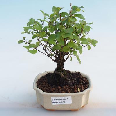Kryty bonsai - Sagerécie thea - Sagerécie thea - 5