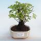 Kryty bonsai - Sagerécie thea - Sagerécie thea - 5/5