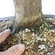 Bonsai ogrodowe - Grab - Carpinus betulus - 5/5
