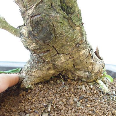 Bonsai zewnętrzne - dziób ptaka Ligustrum - 5