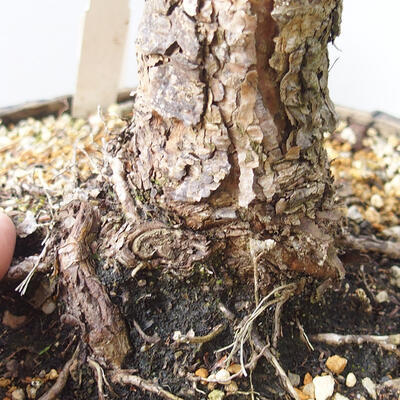 Bonsai ogrodowe - Pinus sylvestris Watereri - sosna zwyczajna - 5