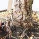 Bonsai ogrodowe - Pinus sylvestris Watereri - sosna zwyczajna - 5/5