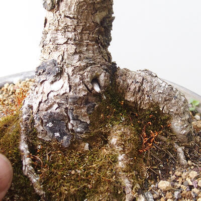 Bonsai zewnętrzne - Larix decidua - Modrzew - 5