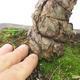 Outdoor bonsai - Pinus parviflora - Sosna drobnokwiatowa - 5/5