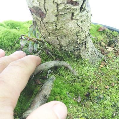 Outdoor bonsai - głogowe białe kwiaty - Crataegus laevigata - 5