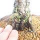 Outdoor bonsai - Pinus sylvestris - Sosna zwyczajna - 5/5