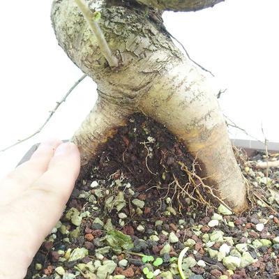 Outdoor bonsai -Mahalebka - Prunus mahaleb - 5
