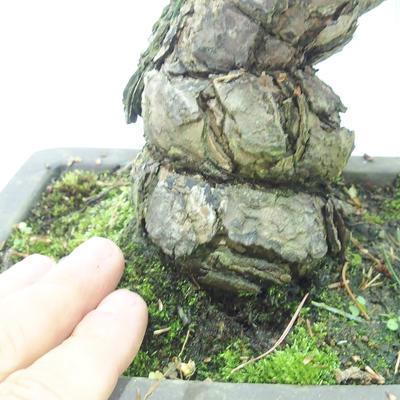 Outdoor bonsai - Pinus parviflora - Sosna drobnokwiatowa - 5