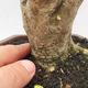 Indoor bonsai -Ligustrum Aurea - dziób ptaka - 5/6