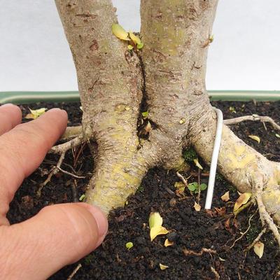 Indoor bonsai -Ligustrum Aurea - dziób ptaka - 5