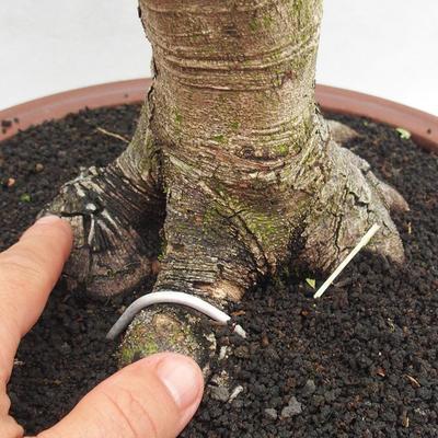 Kryty bonsai -Phyllanthus Niruri- Smuteň - 5