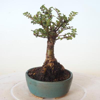 Bonsai zewnętrzne - Ulmus parvifolia SAIGEN - Wiąz drobnolistny - 5