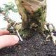 Kryty bonsai -Phyllanthus Niruri- Smuteň - 5/6