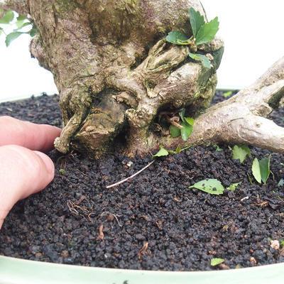 Bonsai do wnętrz - Cudrania equisetifolia - 5