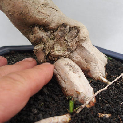 Room Bonsai - Australian Cherry - Eugenia uniflora - 5
