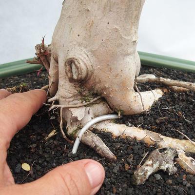 Indoor Bonsai - Australian Cherry - Eugenia uniflora - 5