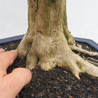 Bonsai do wnętrz - Duranta erecta Variegata - 5