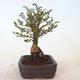 Bonsai zewnętrzne - Ulmus parvifolia SAIGEN - Wiąz drobnolistny - 5/7
