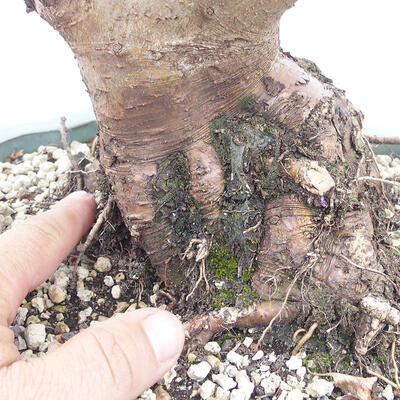Outdoor bonsai -Malus Halliana - owocach jabłoni - 5