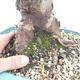 Outdoor bonsai -Malus Halliana - owocach jabłoni - 5/6