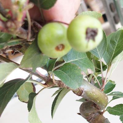 Outdoor bonsai - Malus halliana - jabłoń o małych owocach - 5