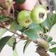 Outdoor bonsai - Malus halliana - jabłoń o małych owocach - 5/5