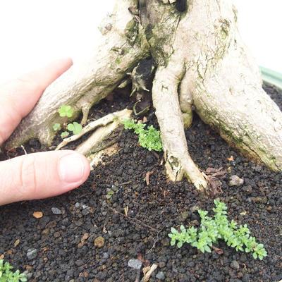 Bonsai do wnętrz - Duranta erecta Aurea - 5