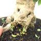 Bonsai do wnętrz - Duranta erecta Aurea - 5/6