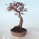 Bonsai zewnętrzne - palma Acer. Atropurpureum-Czerwony liść palmowy - 5/6