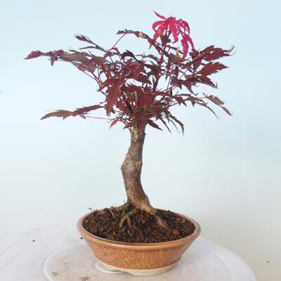 Bonsai zewnętrzne - palma Acer. Atropurpureum-Czerwony liść palmowy - 5