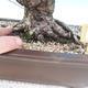 Outdoor bonsai - Pinus thunbergii - Sosna Thunbergova - 5/5