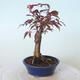 Bonsai zewnętrzne - palma Acer. Atropurpureum-Czerwony liść palmowy - 5/5