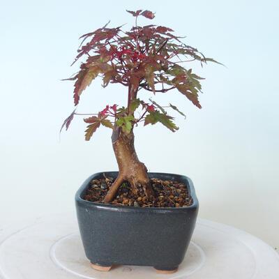 Bonsai outdoor - Maple palmatum DESHOJO - Maple palmate - 5