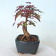 Bonsai outdoor - Maple palmatum DESHOJO - Maple palmate - 5/6
