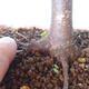 Bonsai na zewnątrz - Maple palmatum sangokaku - Liść palmy klonowej - 5/5
