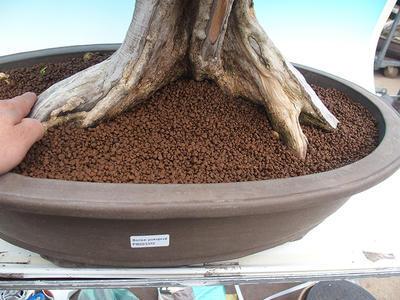 Pokój bonsai - Muraya paniculata - 5