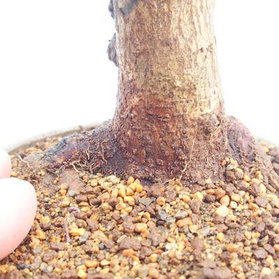 Outdoor bonsai - Buergerianum Maple - Burger Maple - 5
